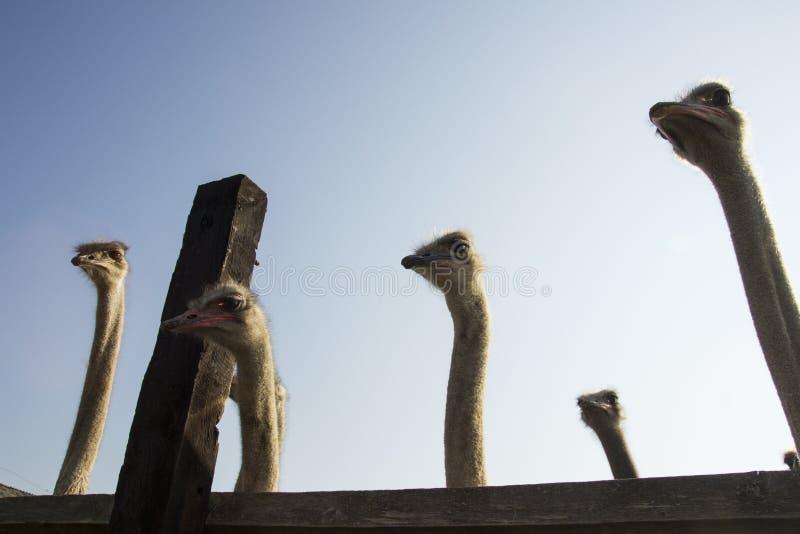 Конец головы страуса вверх в ферме страуса Страусы в paddock на ферме Смешной и странный страус смотрит в стоковое изображение rf