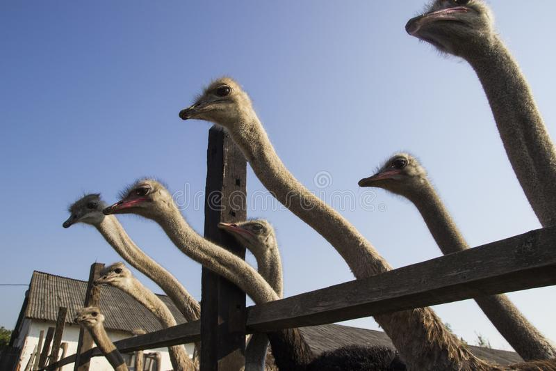 Конец головы страуса вверх в ферме страуса Страусы в paddock на ферме Смешной и странный страус смотрит в стоковые фото