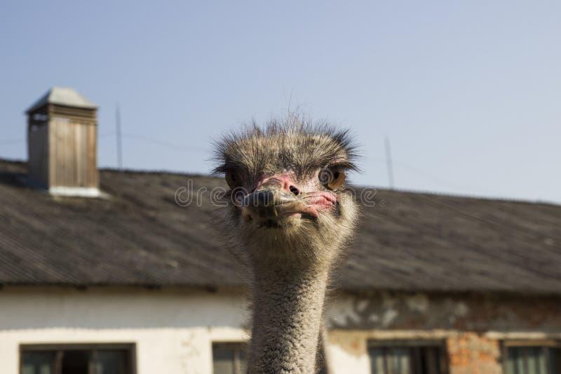 Конец головы страуса вверх в ферме страуса Страусы в paddock на ферме Смешной и странный страус смотрит в стоковое фото