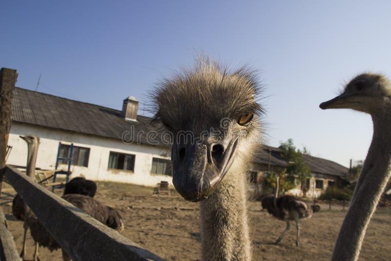 Конец головы страуса вверх в ферме страуса Страусы в paddock на ферме Смешной и странный страус смотрит в стоковое фото rf