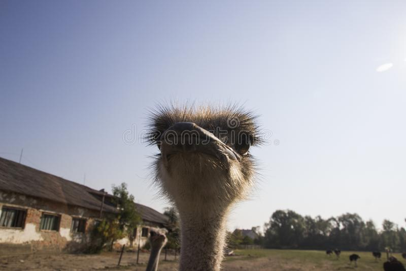Конец головы страуса вверх в ферме страуса Страусы в paddock на ферме Смешной и странный страус смотрит в стоковое изображение