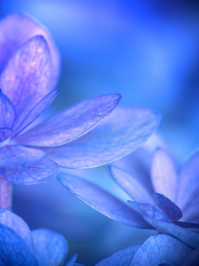 Конец голубых и пурпурных цветков гортензии весьма вверх стоковые изображения