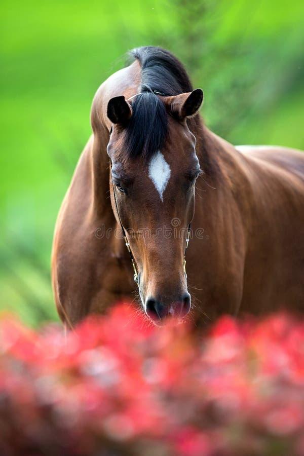 Конец головы лошади Брайна вверх стоковое изображение