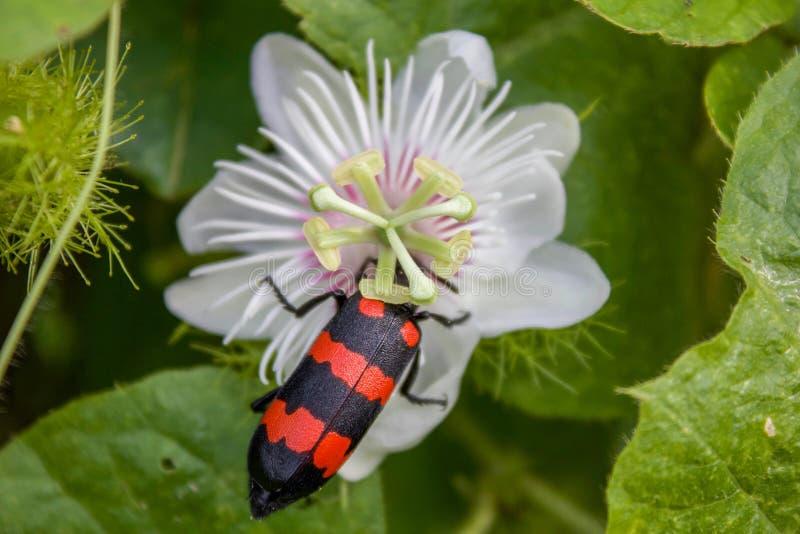 Конец жука волдыря вверх по съемке, с черными и красными нашивками сидя на белом орнаментальном цветке стоковое изображение rf