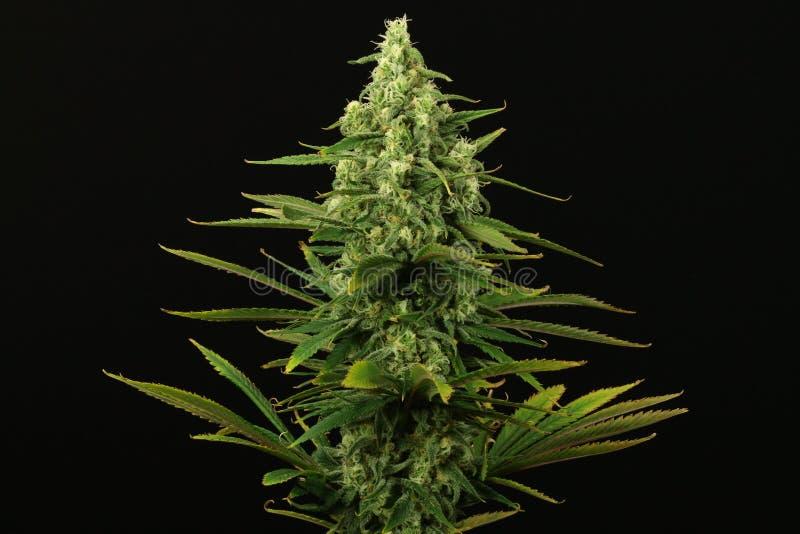 Конец завода марихуаны сини мечт вверх стоковое фото rf