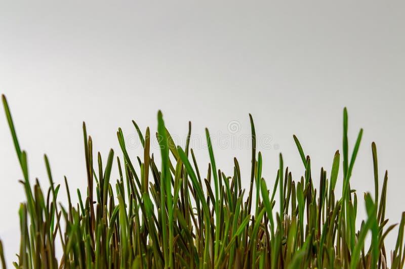 Конец зеленого здорового питания диеты фитнеса семенозачатка пшеницы естественный вверх стоковые изображения rf