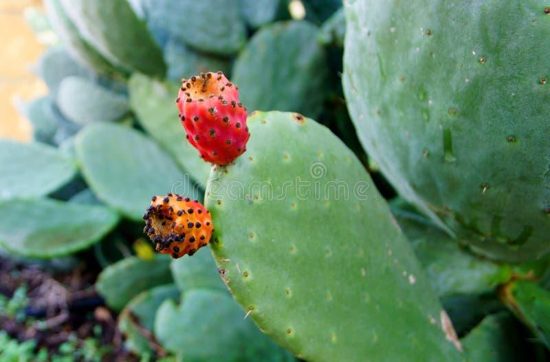 Конец кактуса шиповатой груши вверх с плодоовощ в красном цвете стоковые фотографии rf