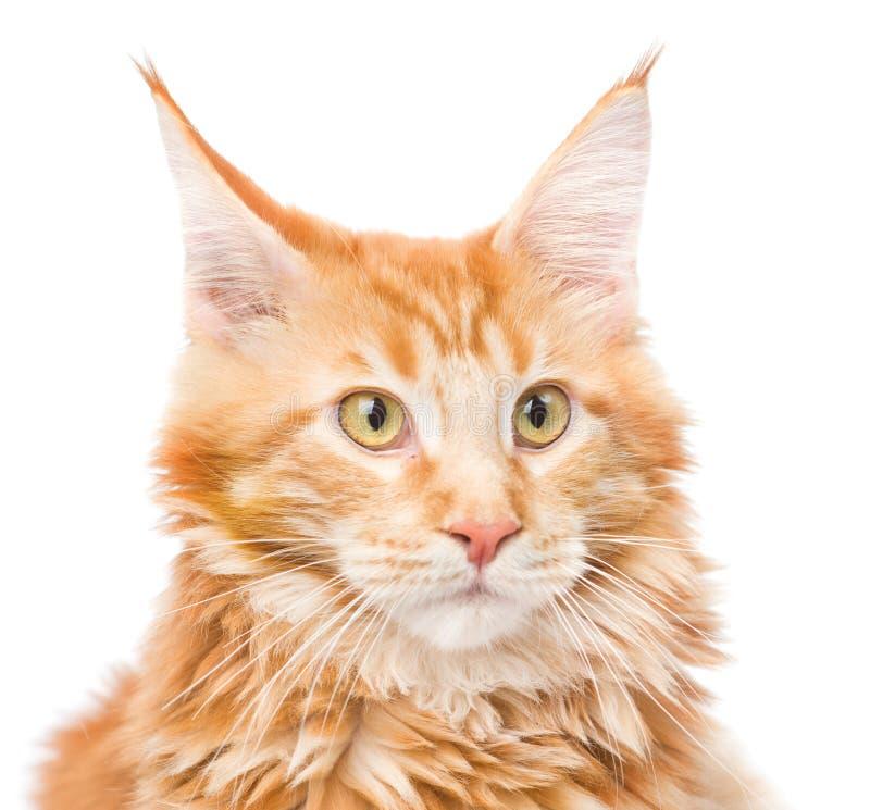 Конец кота енота Мейна портрета вверх белизна изолированная предпосылкой стоковые фото