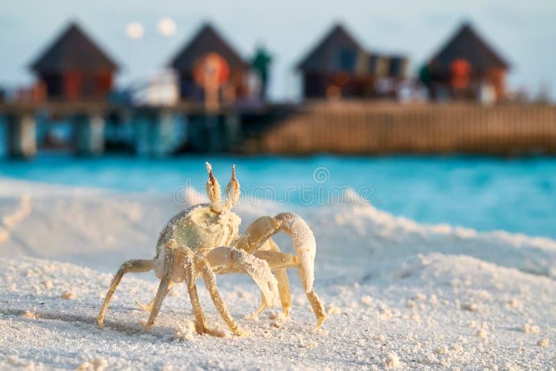 Конец краба вверх по стоять на тропическом пляже захода солнца над watervillas стоковые фото