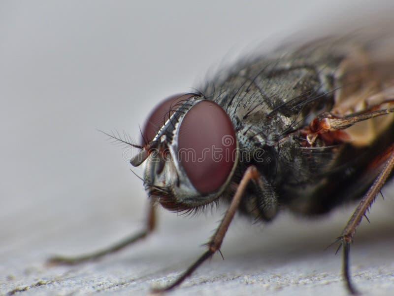 Конец макроса вверх по съемке детали общей мухы дома с большими красными глазами принятыми в Великобританию стоковое изображение