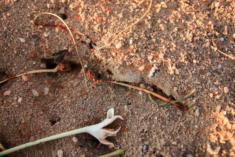 конец муравья красного огня вверх по сыгранности в природе стоковая фотография