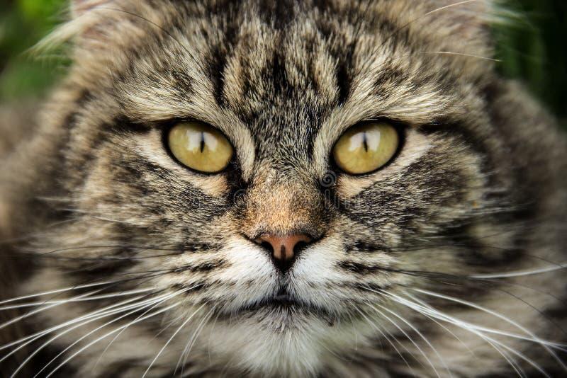 Конец намордника кота вверх Пушистый кот с красивыми глазами Портрет кота стоковые изображения rf