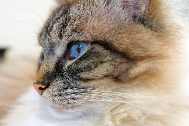 Конец портрета головы кота Ragdoll вверх стоковое фото