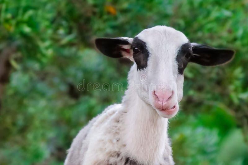 Конец портрета козы вверх стоковые фотографии rf