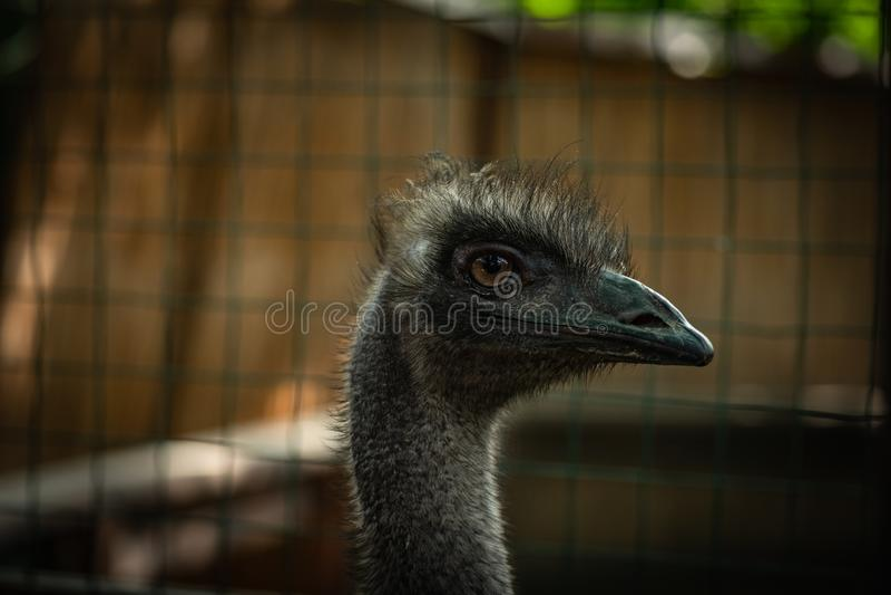 Конец птицы страуса вверх по главному зоопарку природы портрета стоковая фотография rf