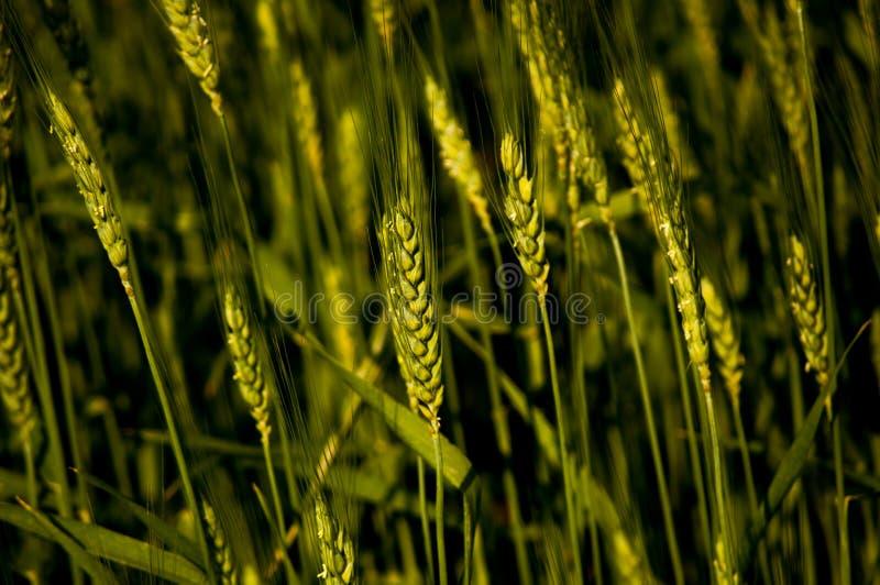 Конец пшеничного поля вверх по зеленому цвету стоковое фото