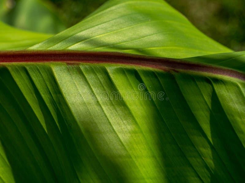 Конец разрешения бананового дерева вверх по предпосылке текстуры стоковая фотография