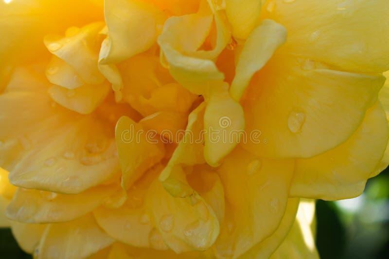 Конец розы желтого цвета вверх стоковая фотография