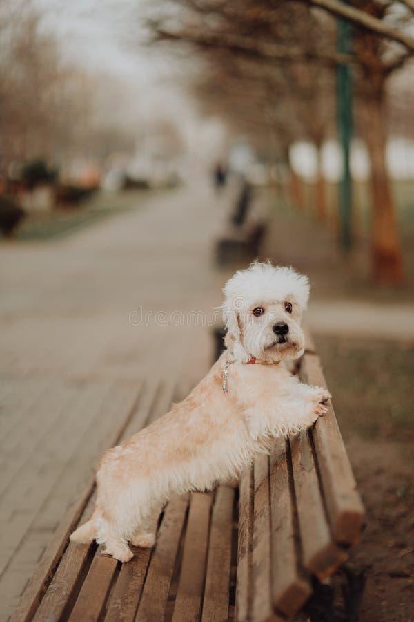 Конец собаки терьера dinmont Dandie белый вверх по смотреть вверх стоковая фотография rf
