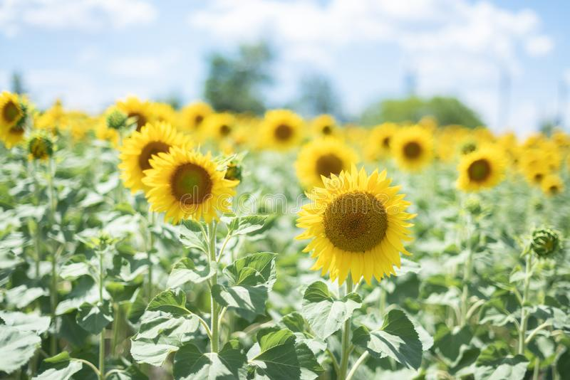 Конец солнцецвета вверх яркое поле солнцецвета над пасмурными голубого светами неба и солнца r Поздравительная открытка или argic стоковые изображения