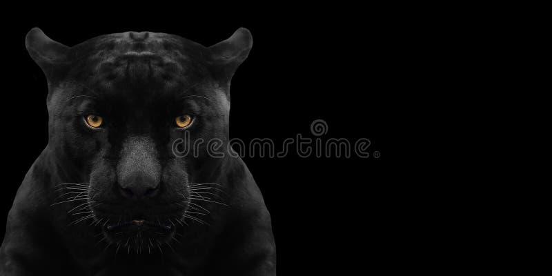 Конец съемки черной пантеры вверх стоковая фотография