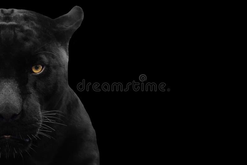 Конец съемки черной пантеры вверх стоковая фотография rf