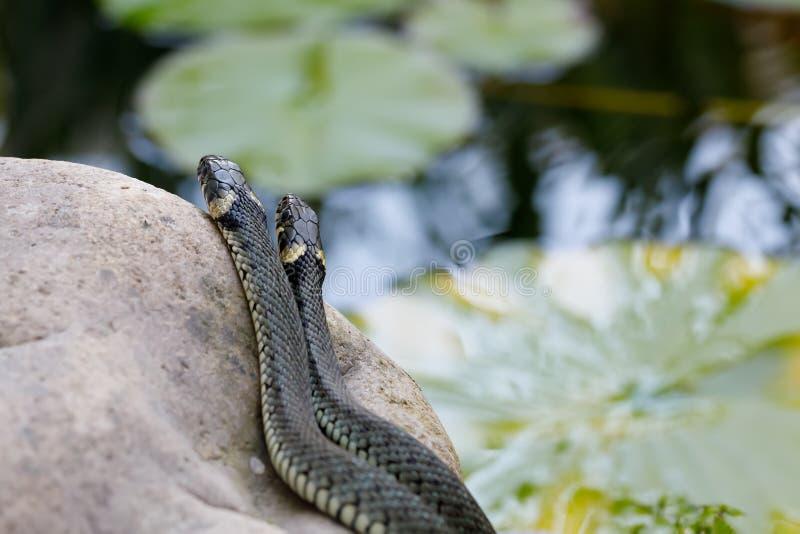Конец ужа ужа змейки травы вверх стоковое изображение rf