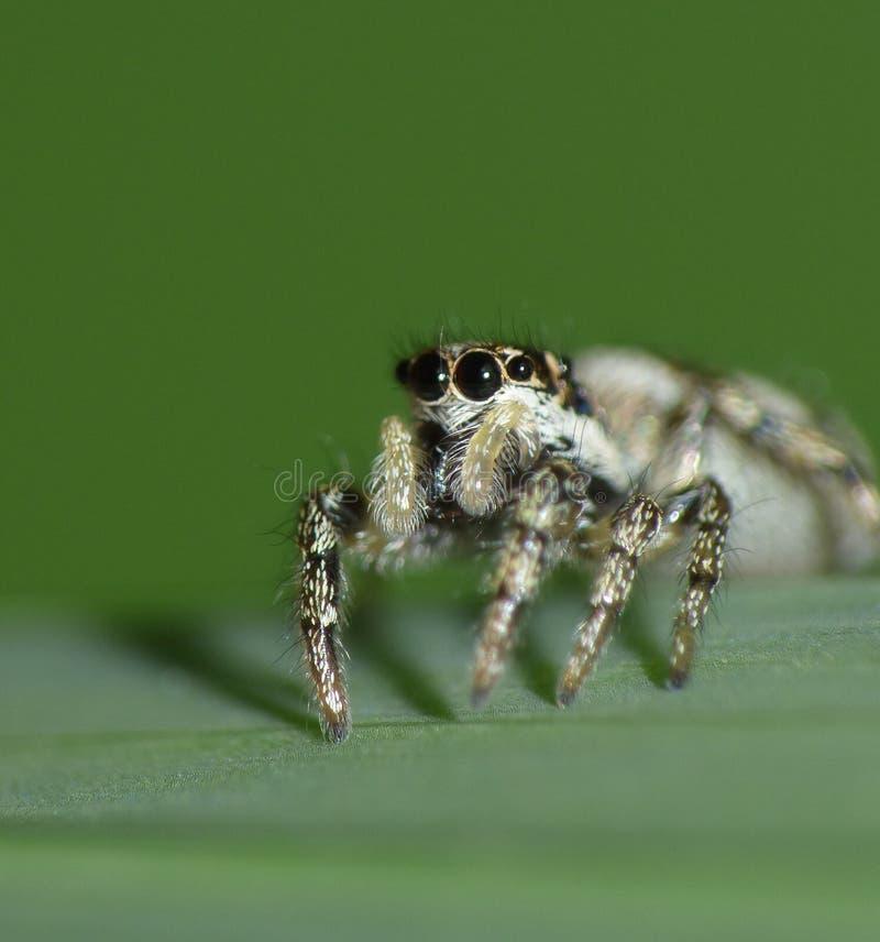 Конец фотографии макроса вверх скача паука, фото принятого в Великобританию стоковая фотография