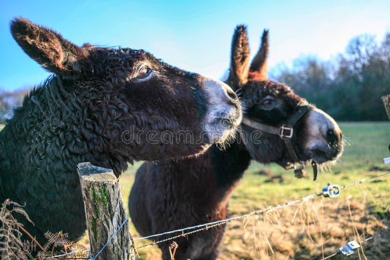 Конец цвета коричневого цвета животноводческой фермы ослов вверх по милым смешным любимцам стоковое фото