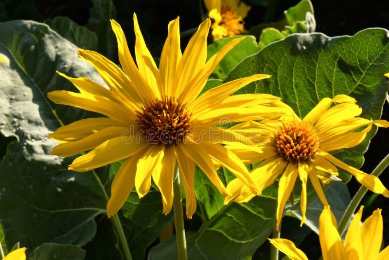 Конец цветка арники или Balsamroot вверх стоковые изображения rf