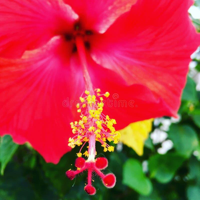 Конец цветка гибискуса тропический вверх стоковое изображение rf