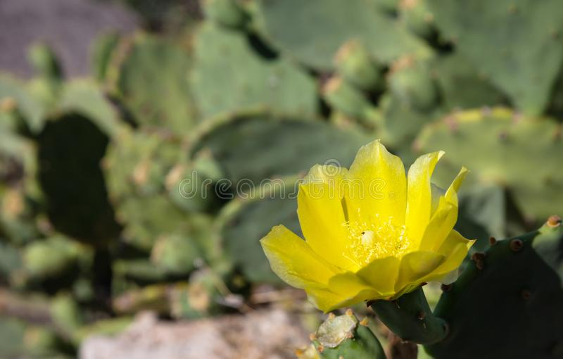 Конец цветка кактуса груши колючки вверх на расплывчатой предпосылке стоковая фотография rf