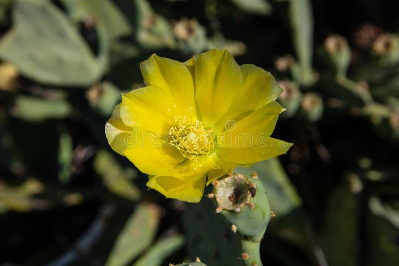 Конец цветка кактуса груши колючки вверх на расплывчатой предпосылке стоковые фотографии rf