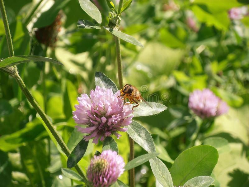 Конец цветка красного клевера вверх с пчелой стоковые изображения rf