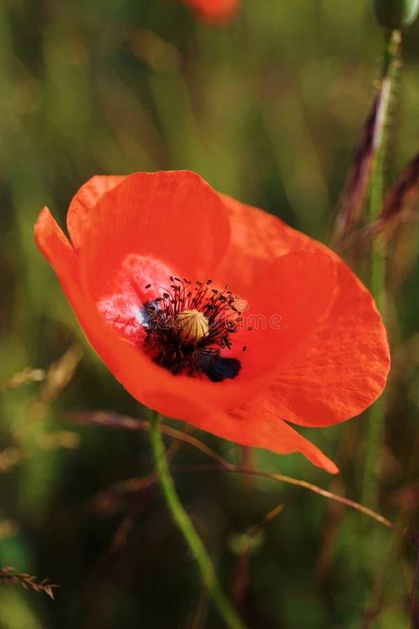 Конец цветка мака вверх стоковое изображение rf