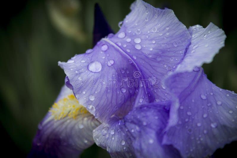 Конец цветка радужки вверх стоковое изображение