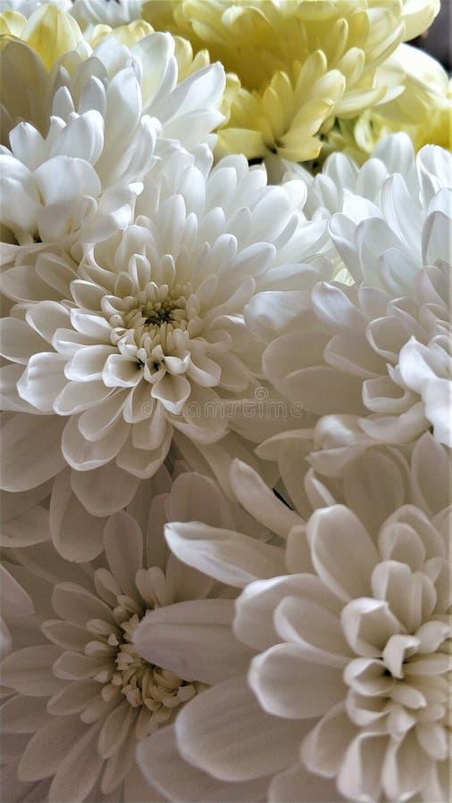Конец цветка хризантемы вверх по белому макросу букета стоковые изображения rf