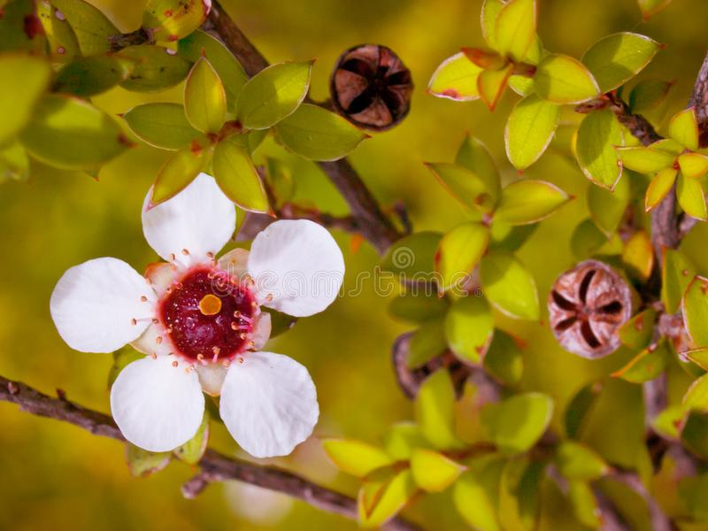 Конец цветка Manuka вверх стоковые изображения rf