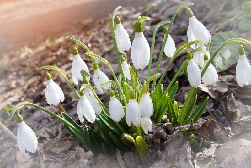Конец цветка Snowdrop вверх по предпосылке макроса Первое unde бутона весны стоковое фото rf
