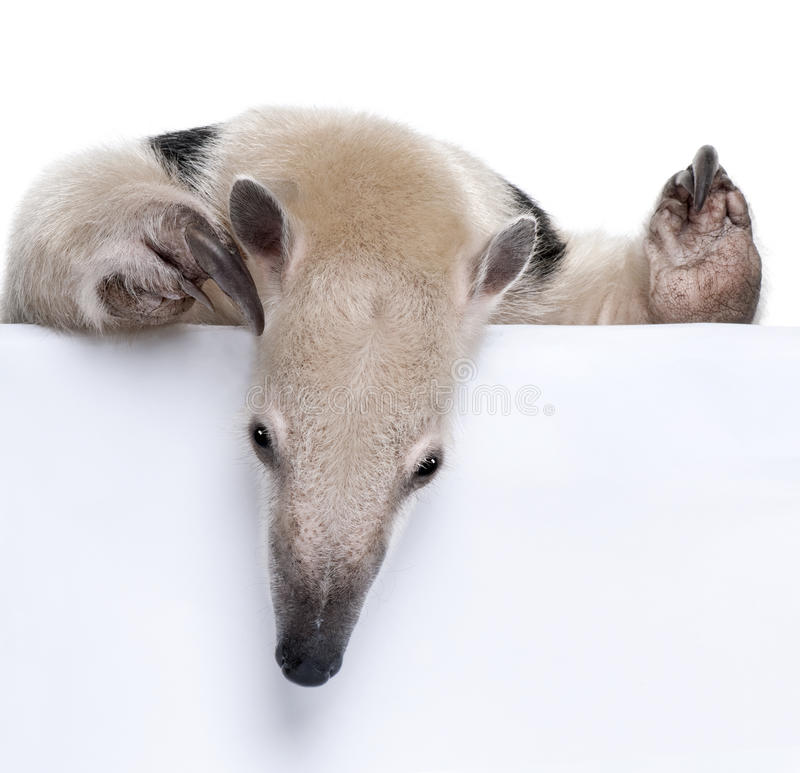 конец anteater collared вверх стоковые изображения rf