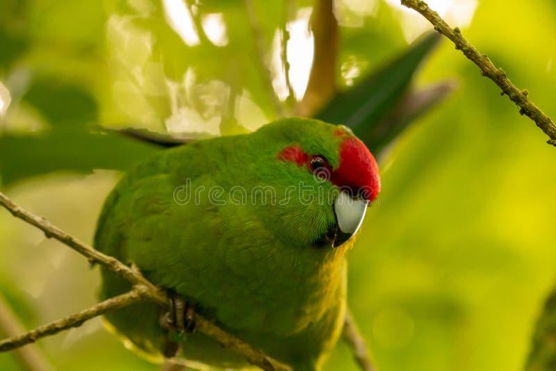 Конец Kakariki длиннохвостого попугая Новой Зеландии увенчанный красным цветом зеленый вверх стоковое изображение rf