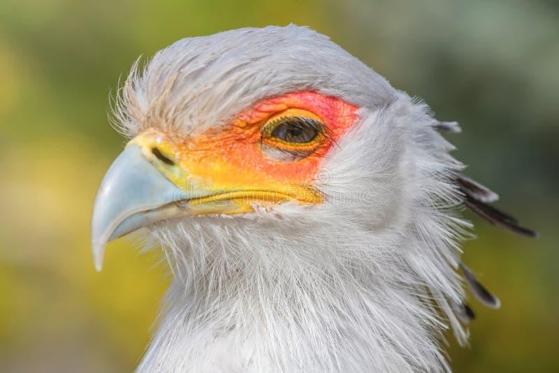 Конец Secretarybird вверх по портрету, африканскому serpentarius Стрелца хищной птицы стоковые фотографии rf