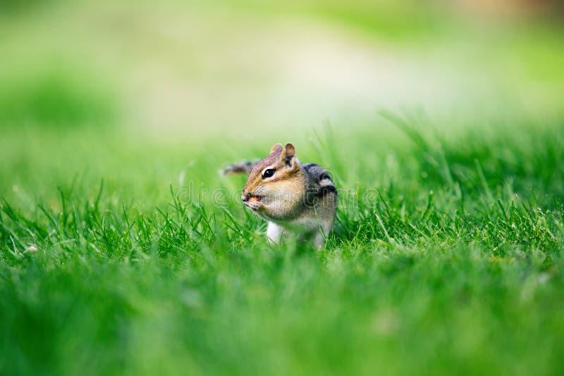 Конец-upcute меньший Сибирский бурундук есть арахис на предпосылке зеленой травы стоковое изображение