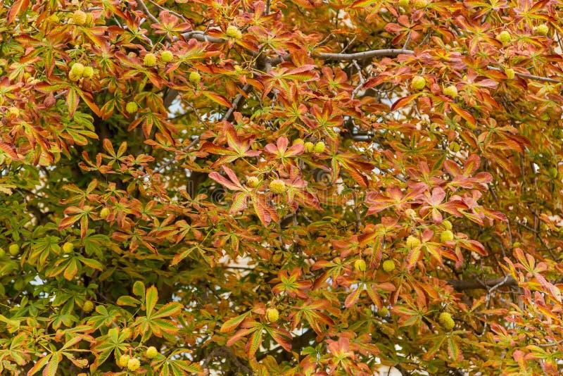 Конский каштан в осени в парке города Золотистая осень Падение лист стоковое фото