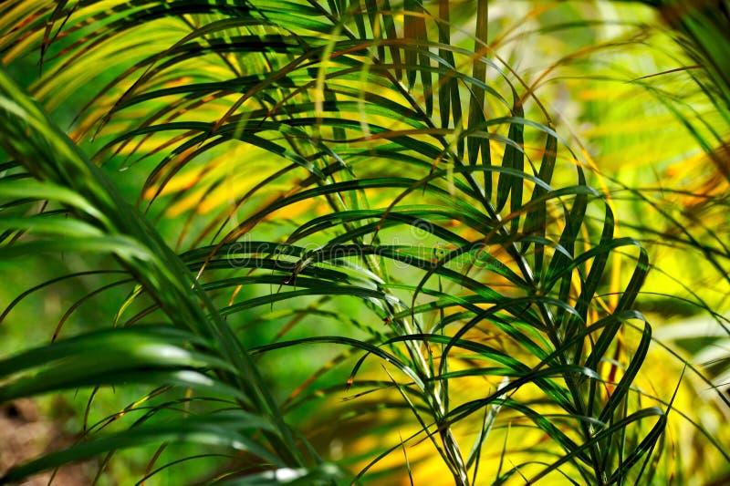 конспект выходит пальма neodypsis стоковое изображение