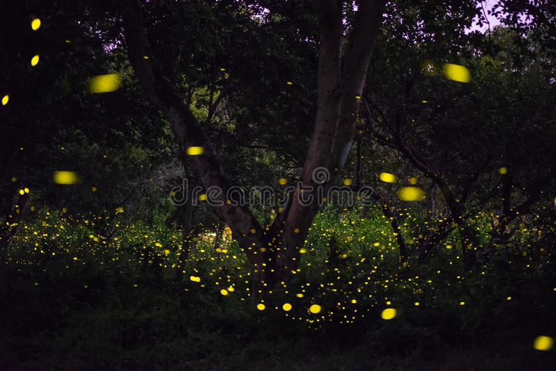 Конспект и волшебное изображение летания светляка в лесе ночи стоковые изображения rf