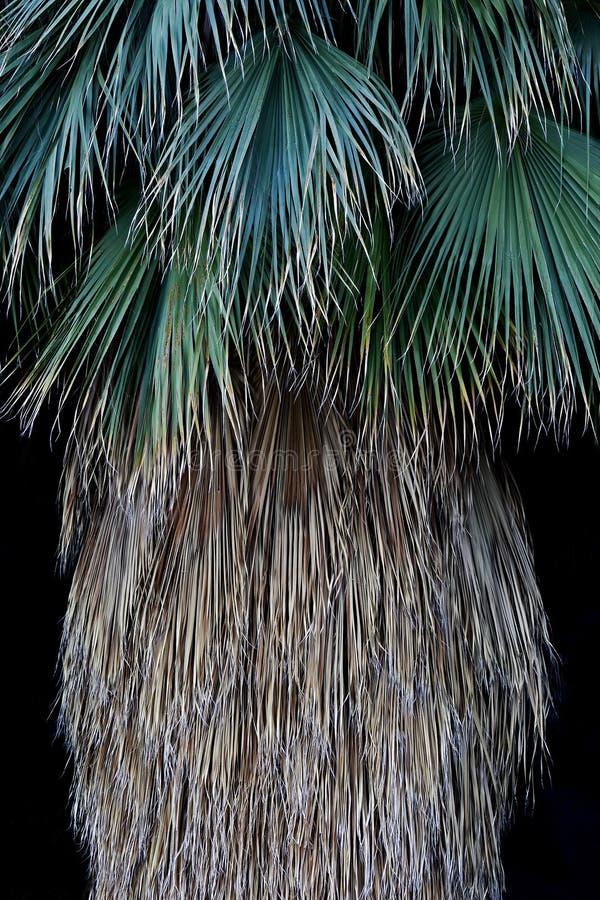 Конспект ладони вентилятора Калифорния; Национальный парк дерева Иешуа, Калифорния стоковое изображение rf