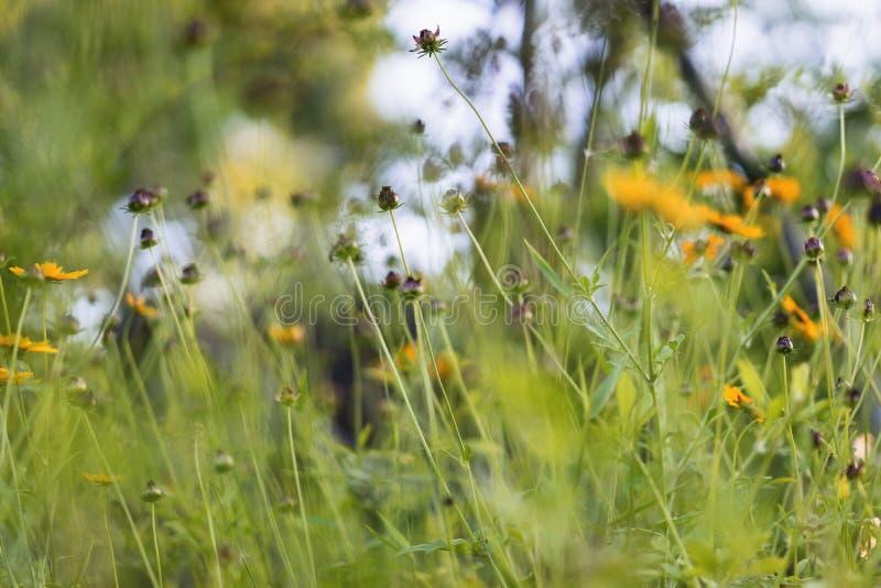Конспект природы наблюданных чернотой стручков семени Сьюзана стоковое фото rf
