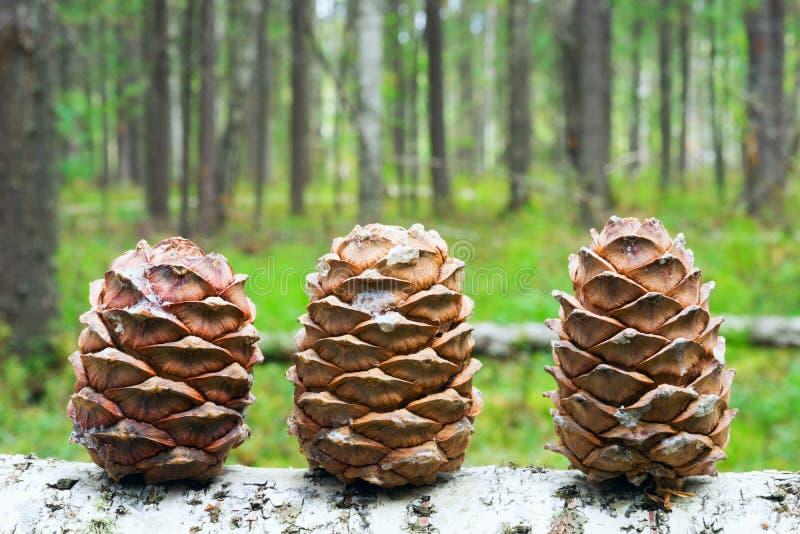 3 конуса сибирского кедра в лесе стоковые изображения rf