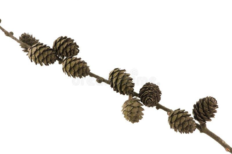 конусы ветви spruce стоковые изображения rf